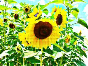 Here's some sunflowers I photographed a few years ago.  I played around with some graphics.